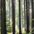 Morgensonne zwischen den Baumstämmen