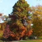 Sumpfzypresse im Herbstkleid