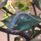 Ein Gecko vor einem Fikus-Blatt