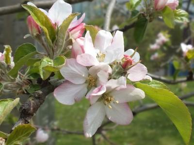 Obstblüte im Goethegarten
