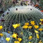 Goldkugelkaktus im Sommerbeet