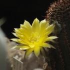 Nahaufnahme der Blüte einer Lobivia shaferi