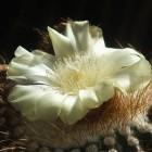 Blüte einer Notokaktee