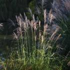 Gräser in der Herbstsonne