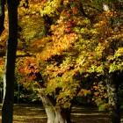 Ahorn im Herbstgewand