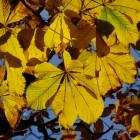 Kastanienlaub in der Herbstsonne