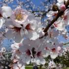 Palmengarten im Frühjahr 2014 - Blühender Mandelbaum