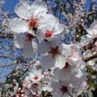 Blühender Mandelbaum