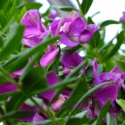 Blühende Myrtenblättrige Kreuzblume
