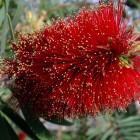 Blütenstand des Zylinderputzers (Australien)