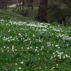 Buschwindröschen im Schlosspark