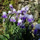 Blühende Iris an der alten Schlossmauer