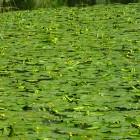 Gelbe Teichrosen im Schwanenteich