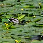Ente zwischen Seerosen im Schwanenteich von Bad Homburg