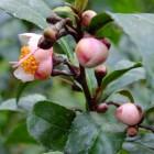 Blühender Teestrauch